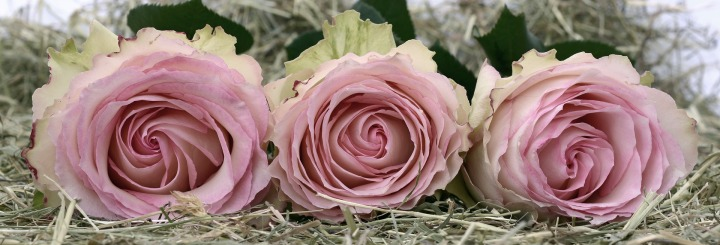 roses-2090840_1920