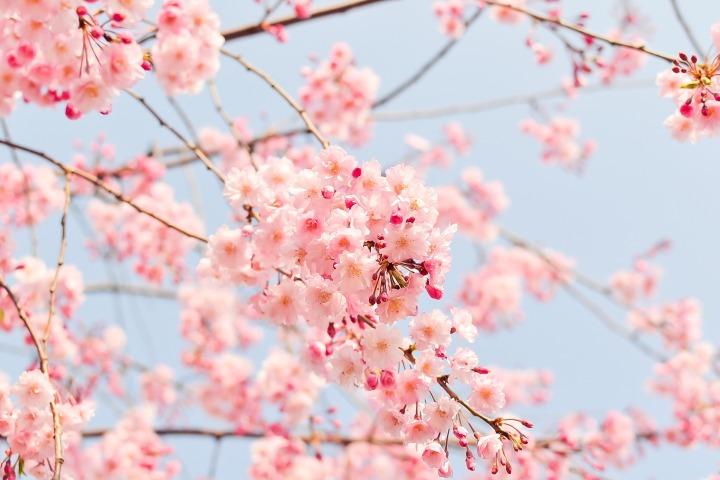 cherry-tree-1225186_1920