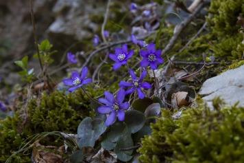 harbinger-of-spring-3258028_1920