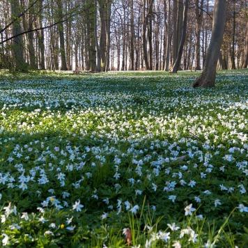 wood-anemone-333381_1280